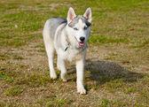 Extremly rare miniature Siberian Husky dog. — Stock Photo