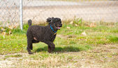 Happy miniature poodle enjoying freedom. — Stock Photo