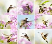 Hummingbird collage. — Stock Photo