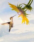 Kolibřík v zářící slunečnice s oblohou. — Stock fotografie