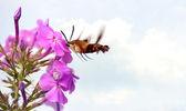 ćma koliber w ruchu w kwiaty. — Zdjęcie stockowe