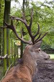 Grande cervo — Foto Stock
