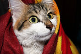 Cat in a blanket — Stock Photo