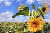Sunflowers and sky — Stock Photo