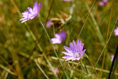 Purple wildflowers — Stock Photo
