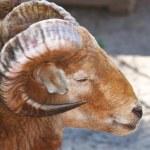 Sheeps head — Stock Photo #6751713