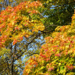 Autumn branch of maple tree - Photo