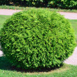 Round bush - Stock Photo