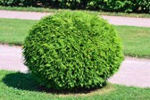 Round bush — Stock Photo