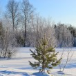 Small fir tree in winter forest - Stock Photo