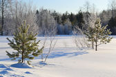 Two small fir tree in winter forest — Stock Photo