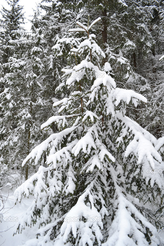 Fir tree covered with snow — Stock Photo #7788253