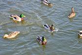 The ducks — Стоковое фото