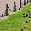 Royalty-Free Stock Photo: Pigeons on the grass