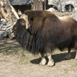 Musk ox — Stock Photo #6921003