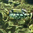 Clown triggerfish (Balistes conspicillum) — Stock Photo #6921203