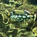 Clown triggerfish (Balistes conspicillum) — Stock Photo
