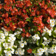 Red and white begonia — Stock Photo