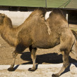 Stock Photo: Camel, Moscow zoo