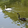 Two swans, black and white — Stock Photo