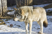 Wolf, winter — Stock Photo