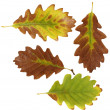Set autumn yellow leaves oak isolated on white background — Stock Photo