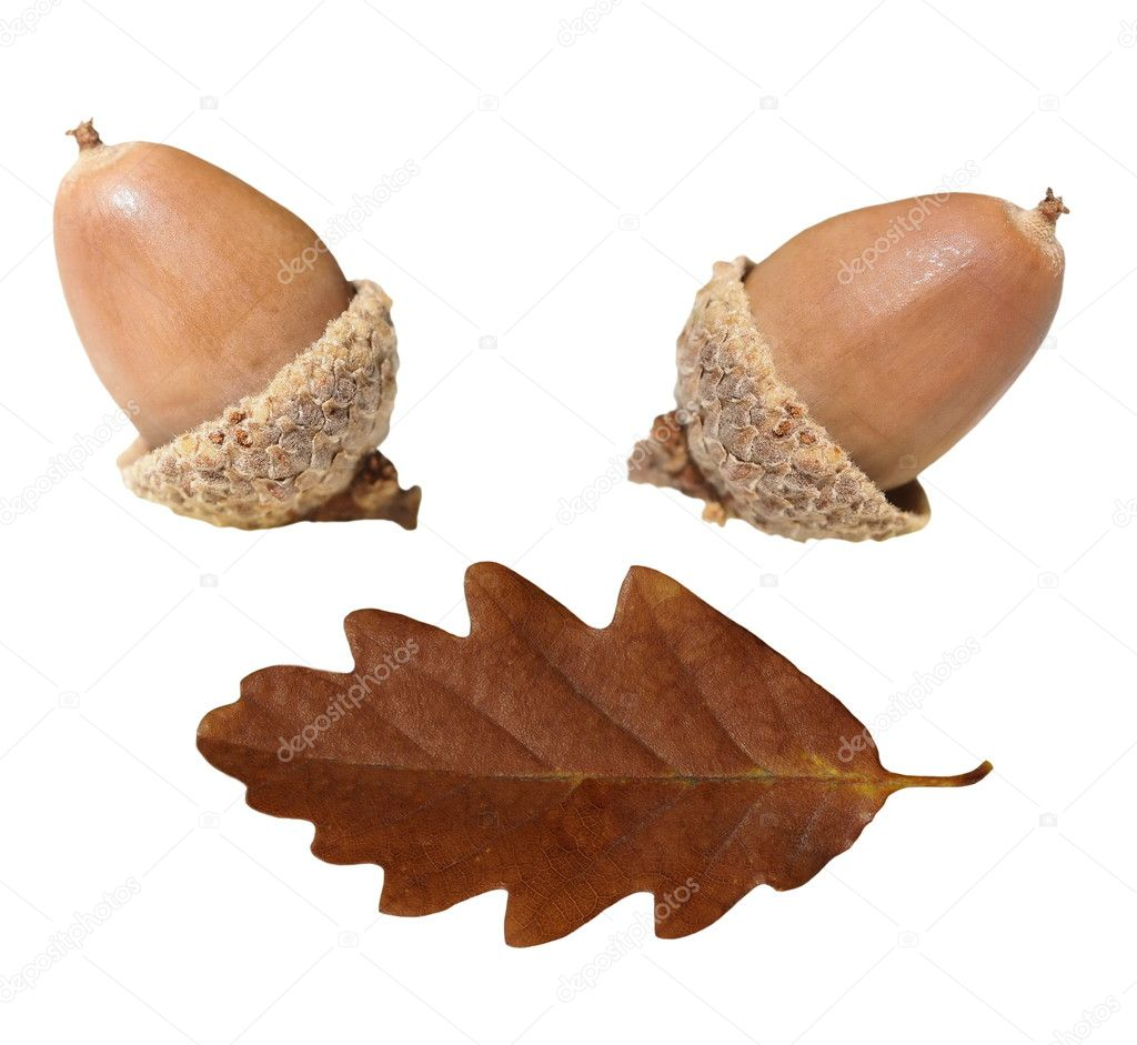 Acorn and oak leaf  isolated on white background, — Stock Photo #6837900