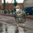 Starling, Sturnus vulgaris — Stock Photo #7278048