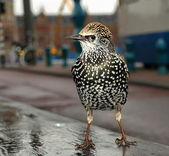 Starling, Sturnus vulgaris — Foto Stock