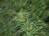 Cannabis plants background — Stock Photo