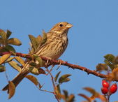 Corn Bunting, miliaria calandra — Stock Photo