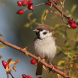 Tree Sparrow on branch, Passer montanus - Photo