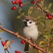Tree Sparrow on branch, Passer montanus - Foto Stock