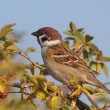 Tree Sparrow on branch, Passer montanus - 图库照片