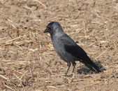 Jackdaw, Corvus monedula — Stock Photo