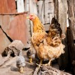 Chicken on a farm — Stock Photo #6834271