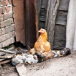 Chicken on a farm — Stock Photo #6834332
