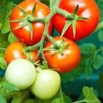crescita del pomodoro — Foto Stock