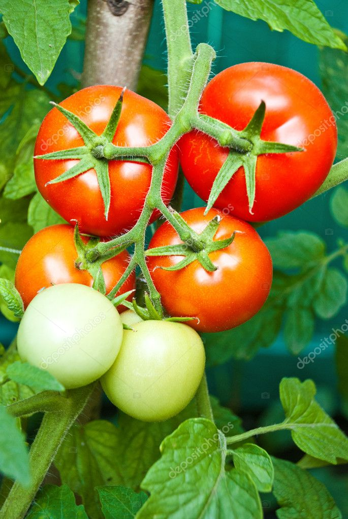 Tomato growth on the branch  Stock Photo #6835958