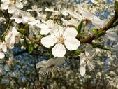 Flowering buds on the tree — Stock Photo