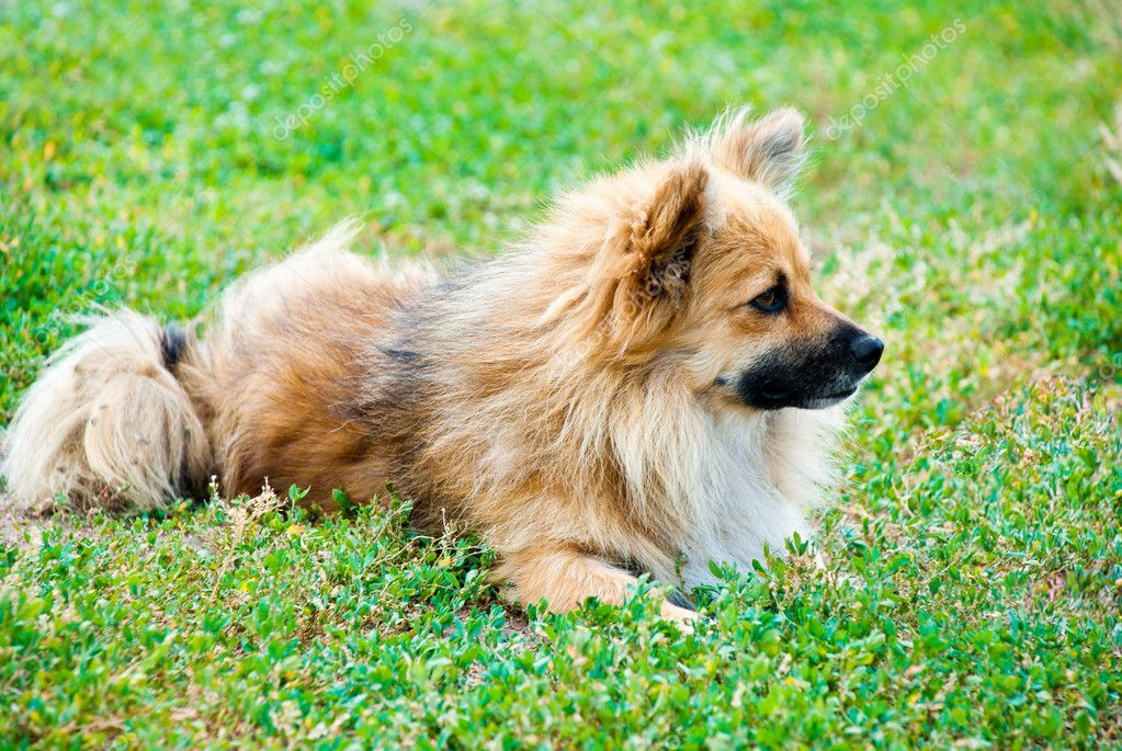 Dog lying on the green grass  Stock Photo #7364511
