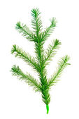 Christmas tree twig — Stock Photo