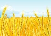 Grain fields — Stock Vector