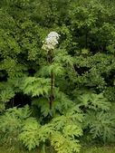 Heracleum mantegazzianum — Stock Photo