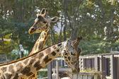 Jirafa africana — Foto de Stock