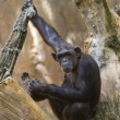 Chimp in a tree — Stock Photo