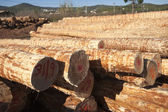 Felled pine logs — Stock Photo