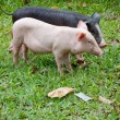 Two pigs — Stock Photo #7188828
