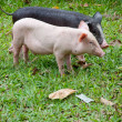 Stock Photo: Two pigs