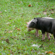 Two pigs — Stock Photo #7188942
